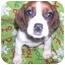 Photo 1 - Treeing Walker Coonhound/Jack Russell Terrier Mix Puppy for adoption in Wauseon, Ohio - Coonhound/Jack Russel Puppies