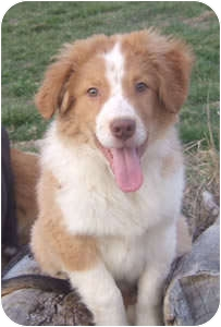 Border Collie Mix Puppy for adoption in Oliver Springs, Tennessee - Henry