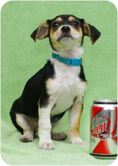 Beagle/Dachshund Mix Puppy for adoption in Westminster, Colorado - HEMINGWAY