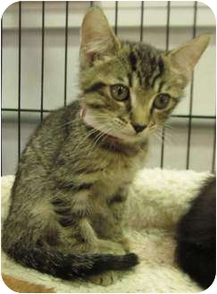 Domestic Shorthair Kitten for adoption in Muskogee, Oklahoma - Wayne