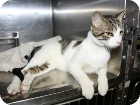 Domestic Shorthair Cat for adoption in Mount Gilead, Ohio - Brownie-Call Lisa 419-560-0591