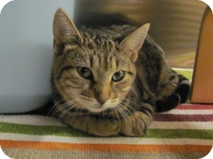 Domestic Shorthair Kitten for adoption in Diamond Bar, California - BOWS
