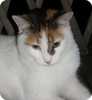Calico Cat for adoption in N. Billerica, Massachusetts - Ella