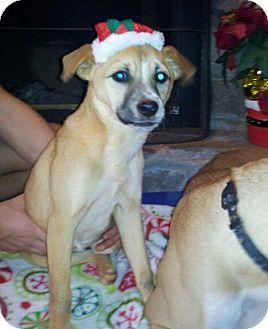 Beagle Mix Puppy for adoption in Bardonia, New York - Caroline