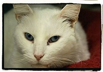 Domestic Shorthair Cat for adoption in Elmwood Park, New Jersey - Chantilly