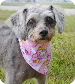 Poodle (Miniature)/Terrier (Unknown Type, Medium) Mix Dog for adoption in Melbourne, Florida - PATTY
