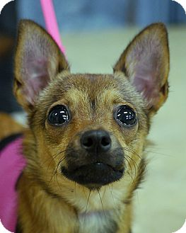 Chihuahua Mix Puppy for adoption in East Hanover, New Jersey - Barbie