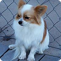 Adopt A Pet :: Prissy - San Angelo, TX