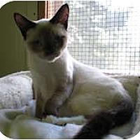 Adopt A Pet :: Purrcey - Shelton, WA