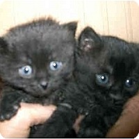 Adopt A Pet :: 2 kittens - Washington Terrace, UT