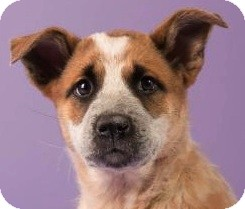 Cattle Dog Mix Puppy for adoption in Flagstaff, Arizona - Yarrow