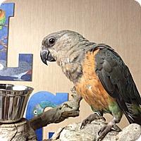 Adopt A Pet :: Danny Boy - Woodbridge, NJ