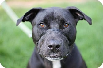 Labrador Retriever/American Pit Bull Terrier Mix Dog for adoption in Midland, Michigan - Legend