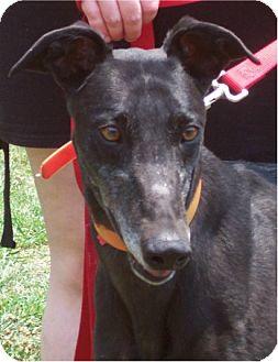 Greyhound Dog for adoption in Randleman, North Carolina - Joan