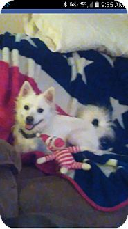 Eskimo Spitz Mix Dog for adoption in Gallatin, Tennessee - Sitka-ADOPTED