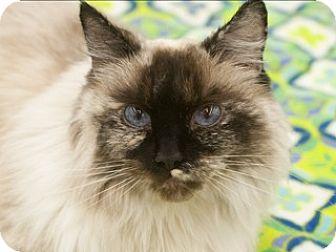 Siamese Cat for adoption in Great Falls, Montana - Jillian