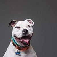 English Bulldog/Pit Bull Terrier Mix Dog for adoption in Berea, Ohio - Rocco