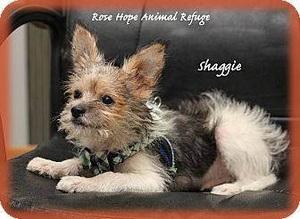Yorkie, Yorkshire Terrier/Chihuahua Mix Puppy for adoption in Waterbury, Connecticut - Shaggy