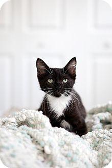 American Shorthair Kitten for adoption in Jacksonville, Florida - Moxie