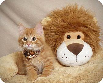 Domestic Longhair Kitten for adoption in Kerrville, Texas - Shrek