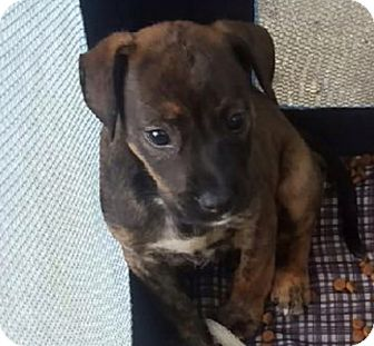 Pointer Mix Puppy for adoption in Waldorf, Maryland - Maggie