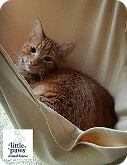 Domestic Shorthair Kitten for adoption in Hamilton, Ontario - Diablo