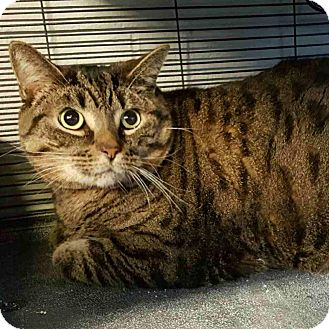 Domestic Shorthair Cat for adoption in Barrie, Ontario - Mister