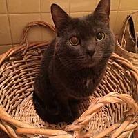 Adopt A Pet :: Sophia Loren - Greensburg, PA