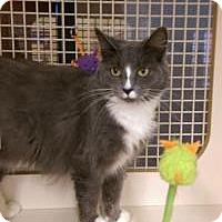 Adopt A Pet :: Brittany - Bridgeton, MO