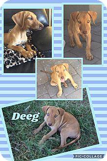 Vizsla/Hound (Unknown Type) Mix Puppy for adoption in Scottsdale, Arizona - Deeg