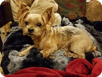 Yorkie, Yorkshire Terrier Dog for adoption in Spring, Texas - Riley