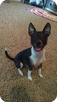 Chihuahua/Terrier (Unknown Type, Small) Mix Dog for adoption in Manhattan, Kansas - Stella