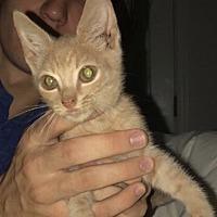 Adopt A Pet :: Buggy - Fairfax, VA