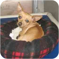 Chihuahua Dog for adoption in Berkeley, California - Roo