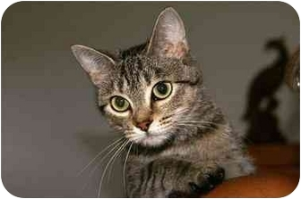 Domestic Shorthair Cat for adoption in Englewood, Florida - Muffin