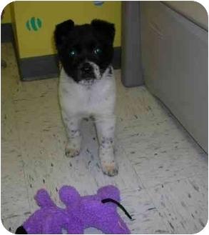 Boxer/Shepherd (Unknown Type) Mix Puppy for adoption in HARRISONVILLE, Missouri - Muggsie