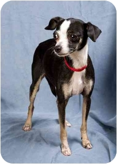 Chihuahua Mix Dog for adoption in Anna, Illinois - SASSY MAE