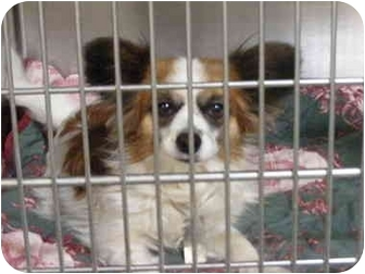 Papillon Mix Dog for adoption in Fort Worth, Texas - BAILEY