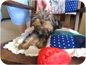 Yorkie, Yorkshire Terrier Puppy for adoption in Canton, Massachusetts - Russ