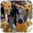 Photo 2 - Labrador Retriever Mix Dog for adoption in Arlington, Virginia - Butterscotch