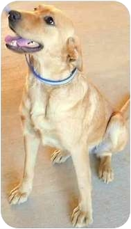 Labrador Retriever Mix Dog for adoption in Hendersonville, Tennessee - KAYLEE ( TN )