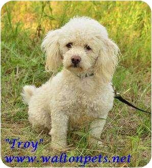 Poodle (Miniature) Mix Dog for adoption in Monroe, Georgia - Troy