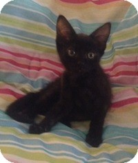 Domestic Shorthair Kitten for adoption in Tampa, Florida - Bella