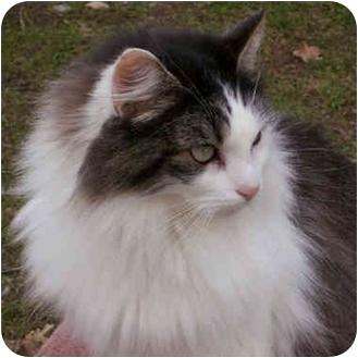 Maine Coon Cat for adoption in Davis, California - Jen Jen