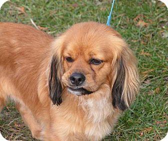 Cocker Spaniel/Pekingese Mix Dog for adoption in Rigaud, Quebec - Rusty