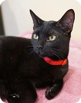 Oriental Cat for adoption in Houston, Texas - Rosy