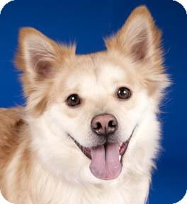 Sheltie, Shetland Sheepdog/Golden Retriever Mix Dog for adoption in Chicago, Illinois - Ainsle