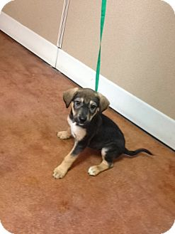 Shepherd (Unknown Type) Mix Puppy for adoption in East Hartford, Connecticut - LEXY  ADOPTION PENDING