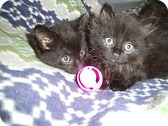 Domestic Mediumhair Kitten for adoption in Reston, Virginia - Brie