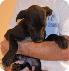 Labrador Retriever Mix Puppy for adoption in Overland Park, Kansas - BRIGGS